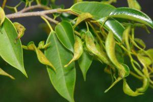 Чистка суставов лавровым листом и рисом