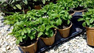 Выращивание стевии из семян в домашних условиях