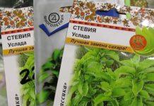Выращивание стевии в домашних условиях